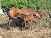 Häst och föl arkivbild