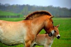 Häst och föl royaltyfria foton