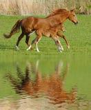 Häst och föl i galopp Royaltyfri Bild