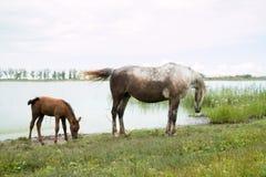 Häst och föl nära det bevattna hålet på sjön Royaltyfri Foto