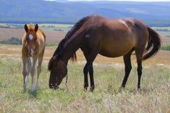 Häst och föl som betar i en äng Royaltyfria Bilder