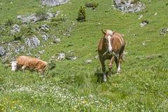 Häst och ko i en alpin äng Royaltyfria Bilder