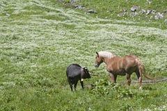 Häst och ko i en alpin äng Arkivfoton