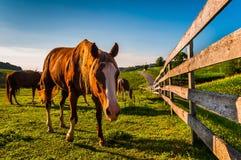 Häst och staket i ett fält på en lantgård i York County, Pennsylvani arkivbild