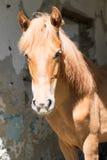 Häst på bakgrundsväggen Royaltyfria Bilder