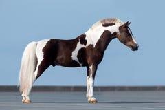 Häst på blå bakgrund royaltyfria foton