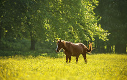 Häst på blommaäng Arkivfoto