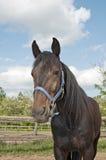 Häst på den midfar lantgårdståenden Royaltyfri Foto