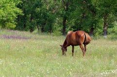 Häst på en äng Royaltyfri Bild