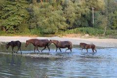 Häst på floden Royaltyfria Bilder