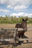 Häst på lantgårdkuriositeten Fotografering för Bildbyråer