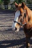 Häst på paddocken Arkivbild