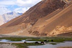 Häst på Pangong sjön i Ladakh Arkivfoto