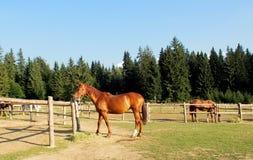 Häst på paturage Royaltyfria Bilder