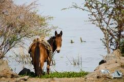 Häst på sjön Chapala, Mexico Arkivfoton