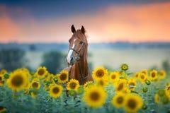 Häst på solrosor royaltyfri foto