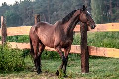 häst på soluppgång i ängen royaltyfria foton