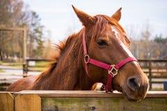 Häst på stall Fotografering för Bildbyråer