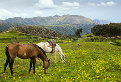 Häst Peru Fotografering för Bildbyråer