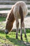 Häst Przewalskis royaltyfri fotografi