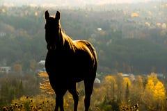Häst Shiloutte Arkivbild