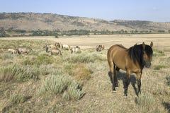 Häst som är bekant som Casanova Arkivbild