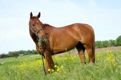 Häst som äter alfalfa royaltyfri fotografi