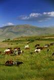 Häst som äter gräs på fält Arkivbild