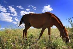Häst som äter gräs på fält Arkivfoton