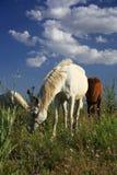 Häst som äter gräs på fält Royaltyfri Fotografi