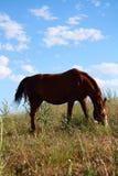 Häst som äter gräs på fält Royaltyfria Foton