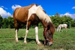 Häst som äter gräs på mjuk himmelbakgrund, selektiv fokus Arkivfoto