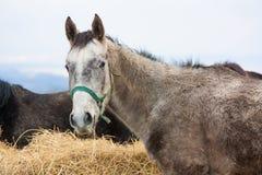 Häst som äter hö Arkivfoto