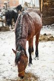Häst som äter hö i snowen royaltyfria bilder