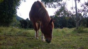 Häst som äter i fältet Arkivbilder