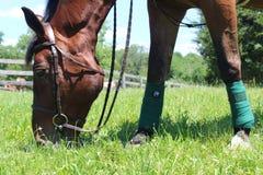 Häst som betar 2 Arkivfoton