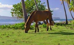 Häst som betar Arkivfoton
