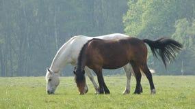 Häst 3 som betar i ängen som har frukosten arkivfoton