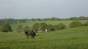 Häst 8 som betar i ängen i solsken arkivfoto