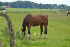 Häst som betar i ett fält nära staden av Wijhe och Zwolle Royaltyfri Foto