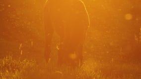 Häst som betar i panelljus på solnedgången arkivfilmer
