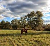 Häst som betar på äng om den soliga dagen Arkivfoto