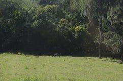 Häst som betar på den gröna ängen royaltyfria foton