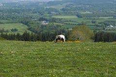 Häst som betar på ett fält Royaltyfria Bilder