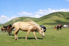Häst som betar på ett grönt fält Royaltyfria Bilder