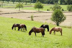 Häst som betar på fält Royaltyfria Bilder