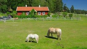 häst som betar på gräs, scandinavian bygdby nära stockholm stock video