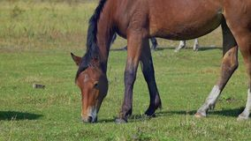 Häst som betar på grön äng arkivfilmer