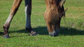 Häst som betar på grön äng lager videofilmer