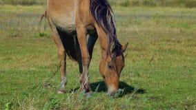 Häst som betar på grön äng stock video